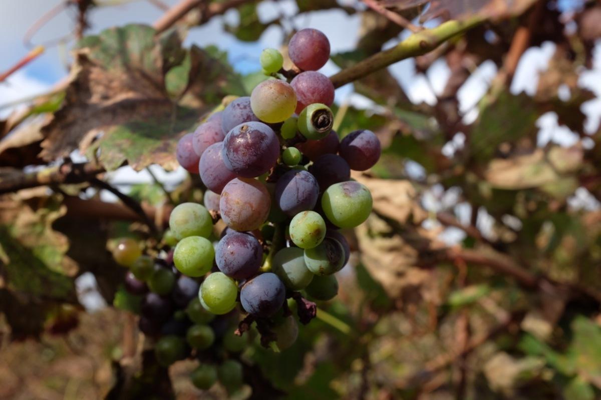 La sorpresa di un Muller Thurgau targato Sicilia. Ecco a voi i vini Fazio